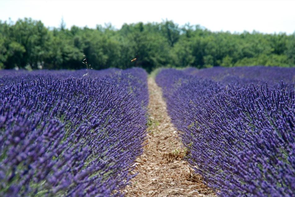 Lavendel bluete 2012 01