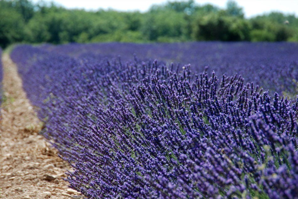 Lavendel bluete 2012 02
