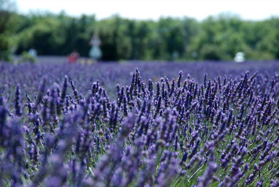 Lavendel bluete 2012 03