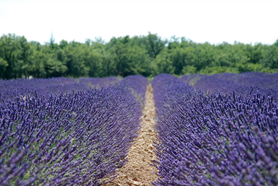 Lavendel bluete 2012 12