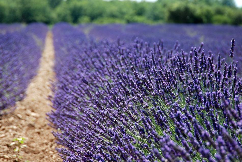 Lavendel bluete 2012 13