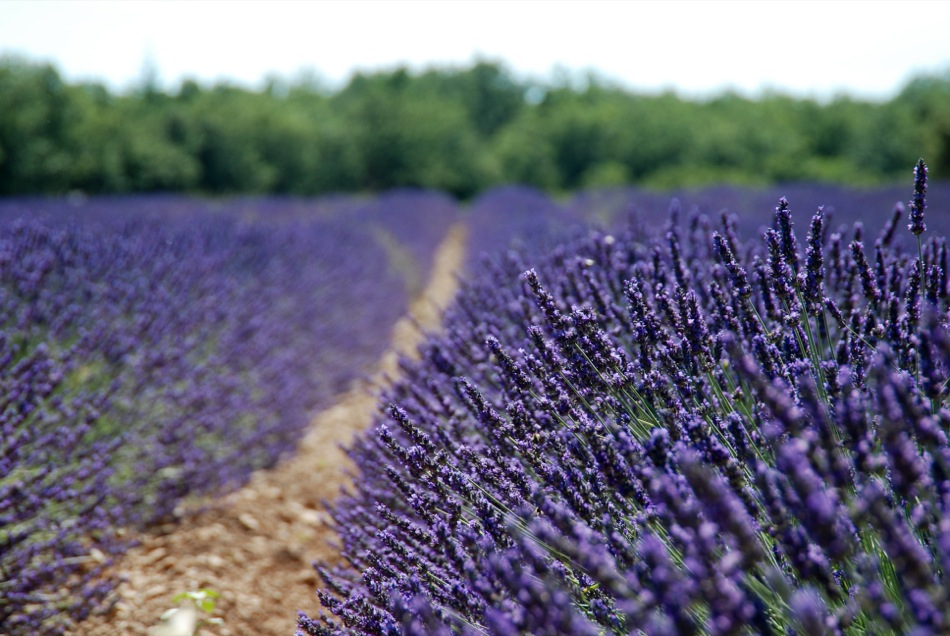 Lavendel bluete 2012 14
