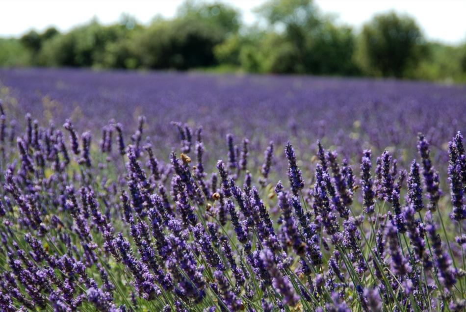 Lavendel bluete 2012 18