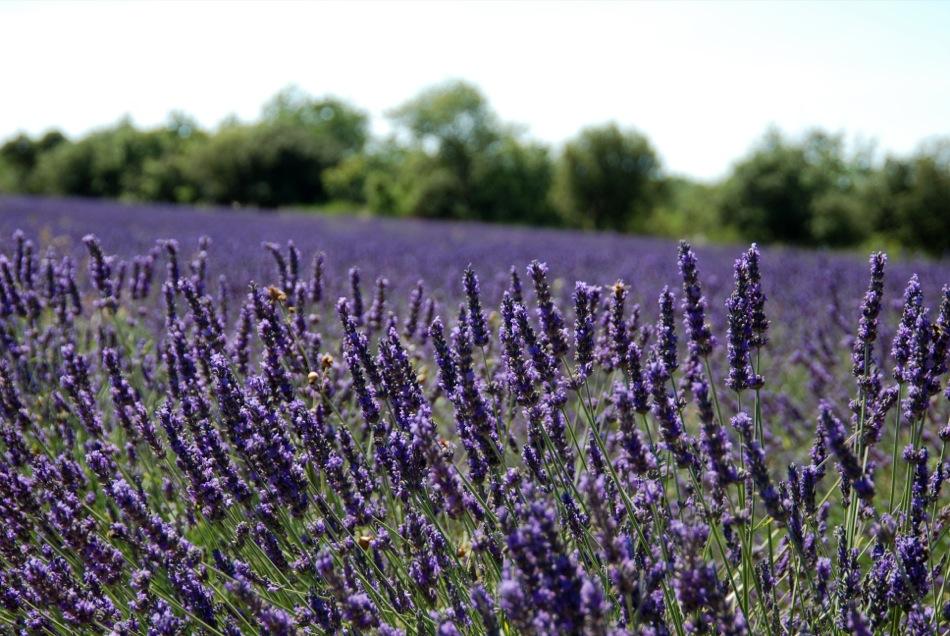 Lavendel bluete 2012 19