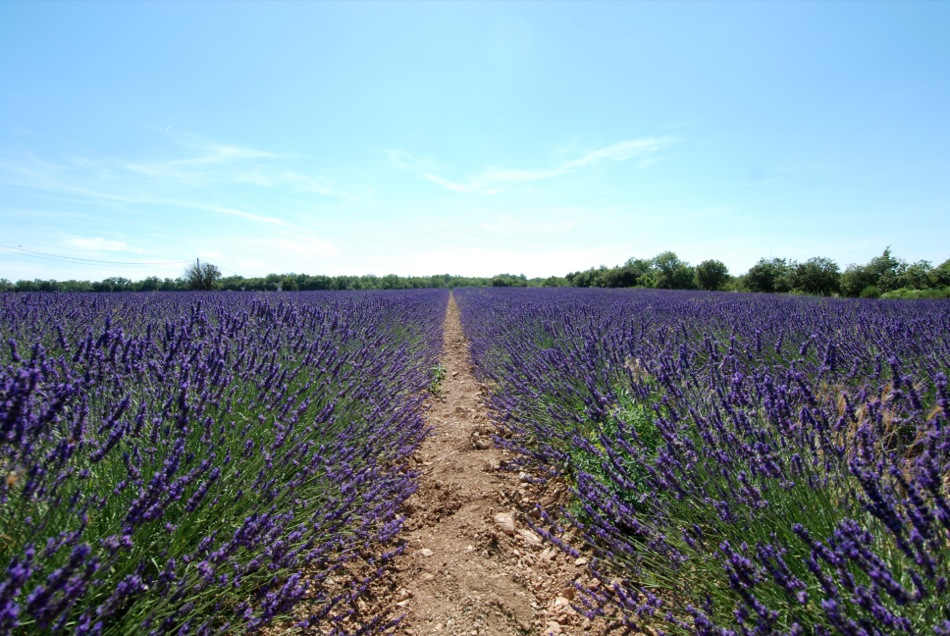 Lavendel bluete 2012 20