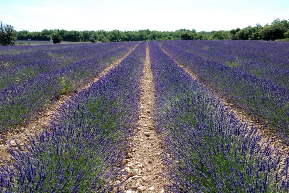 Lavendel bluete 2012 21