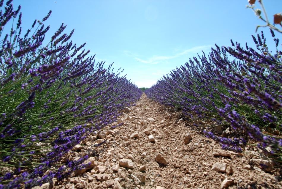 Lavendel bluete 2012 22