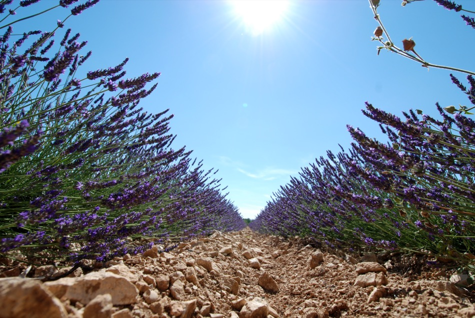 Lavendel bluete 2012 23