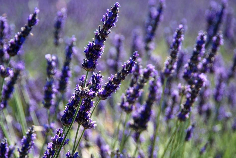 Lavendel bluete 2012 24