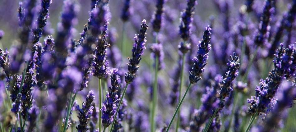 lavendel-bluete-2012-25.jpg