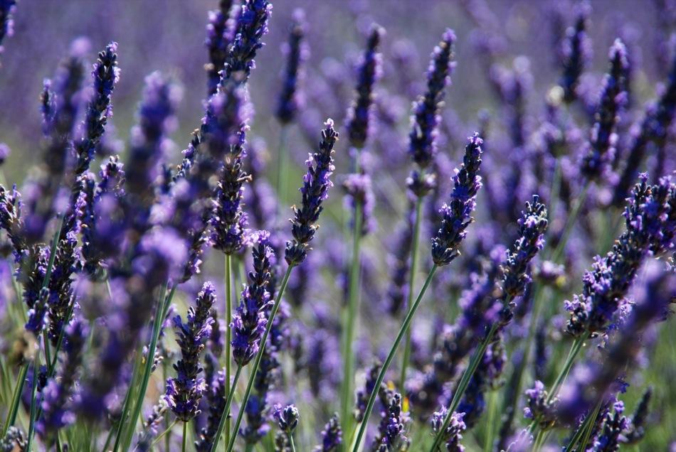 Lavendel bluete 2012 25
