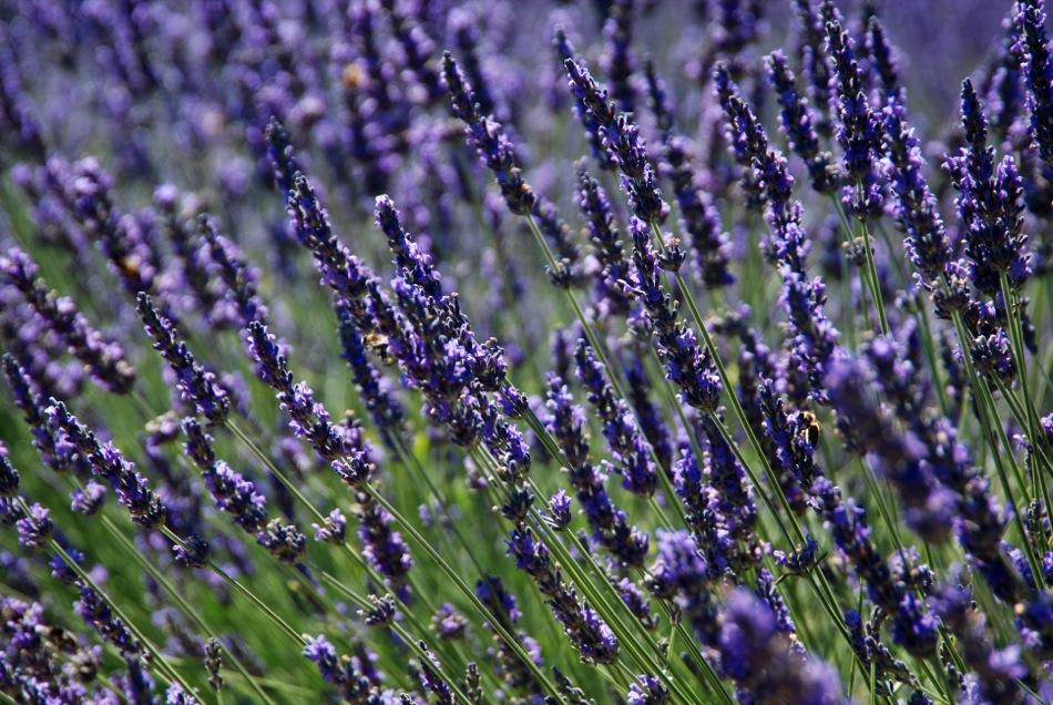 Lavendel bluete 2012 26