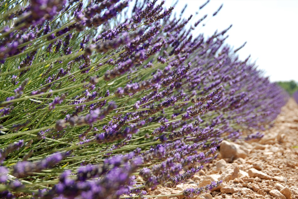 Lavendel bluete 2012 27