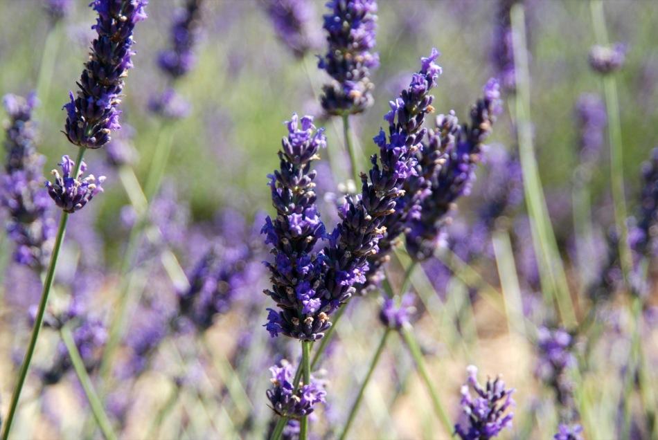 Lavendel bluete 2012 28