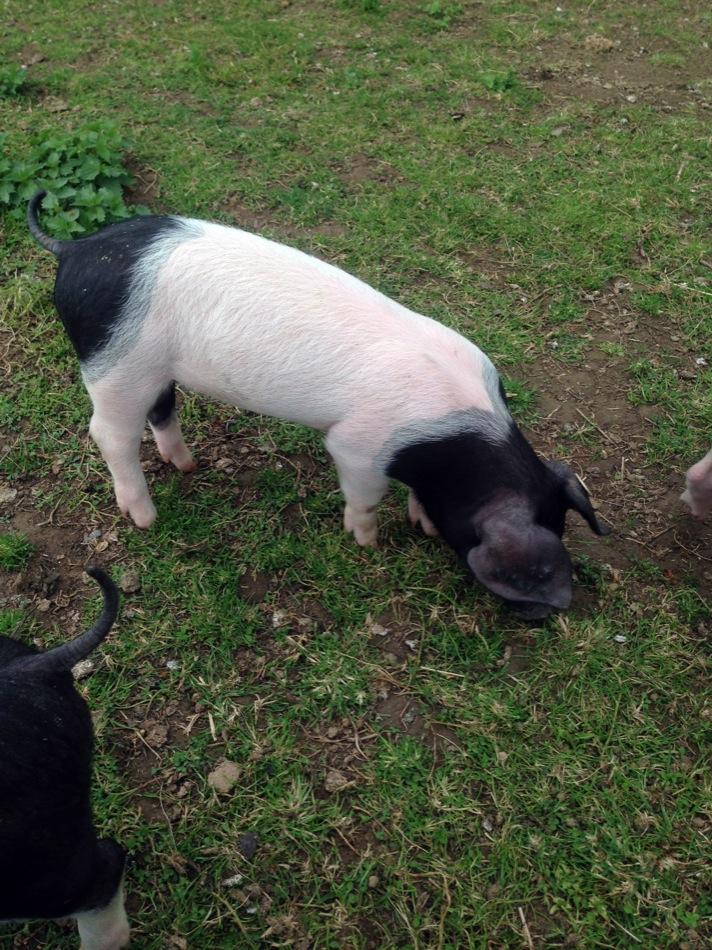 Die älteren Schweine im Aussengehege