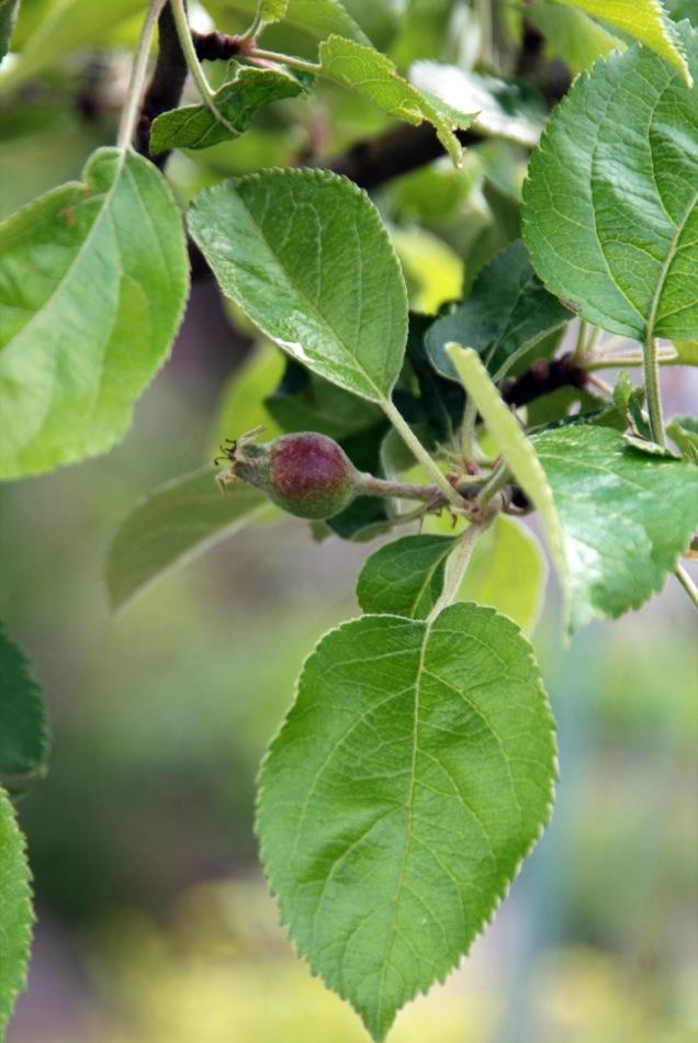 Köksjen - die Bohne auf dem Weg in die Arche des Geschmacks von Slow-Food